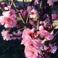 FOTD - April 10, 2019 - Australian Cherry Blossom