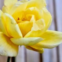 FOTD - April 17, 2019 - Yellow Roses